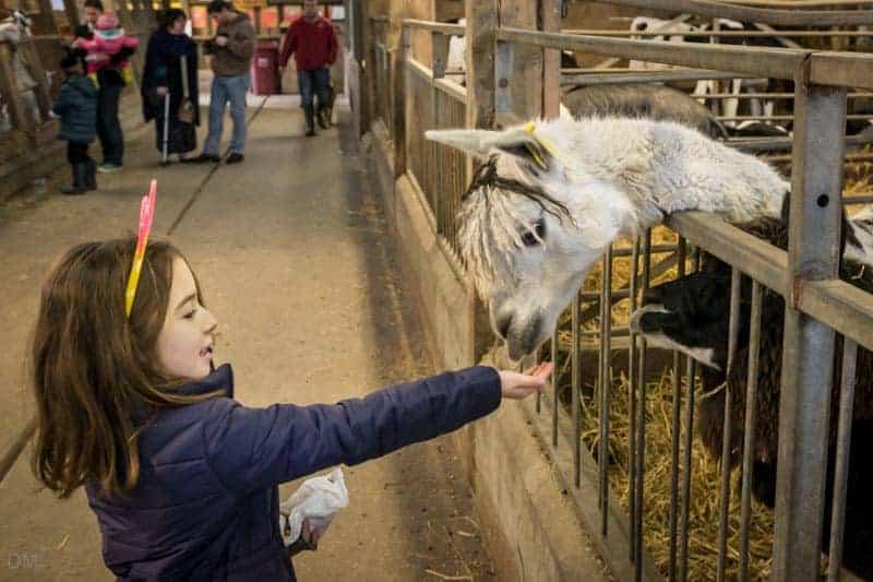 Child feeding a llama