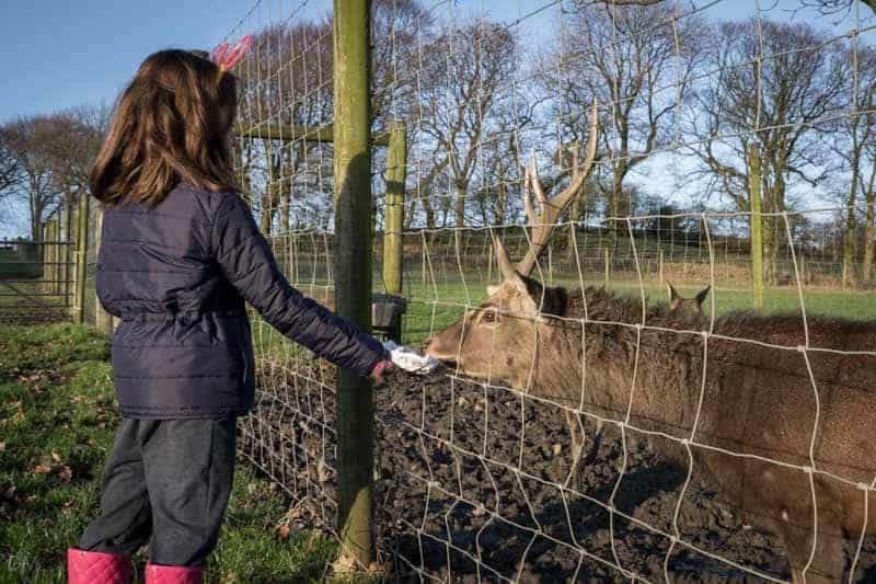 Child feeding a reindeer