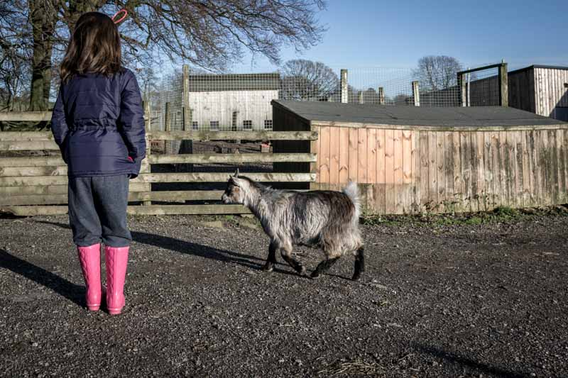 Goat at Smithills Open Farm in Bolton.