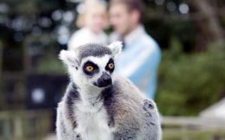 Lemur at Blackpool Zoo