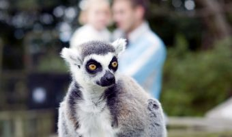 Lemur at Blackpool Zoo