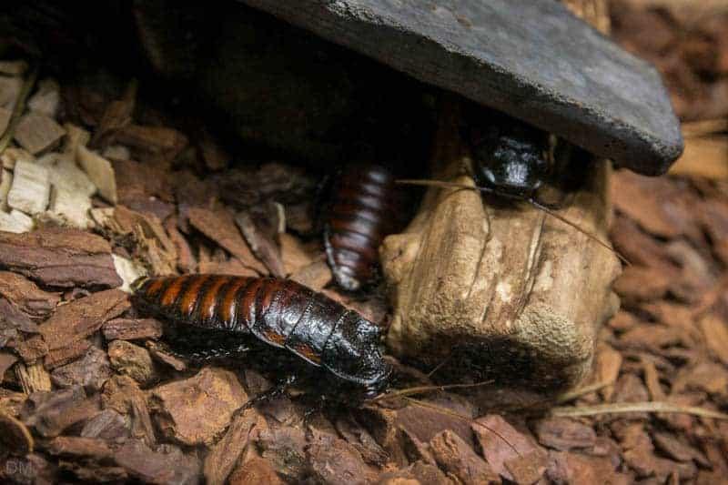 Madagascan Hissing Cockroaches - Mini-Beast Cave, Williamson Park