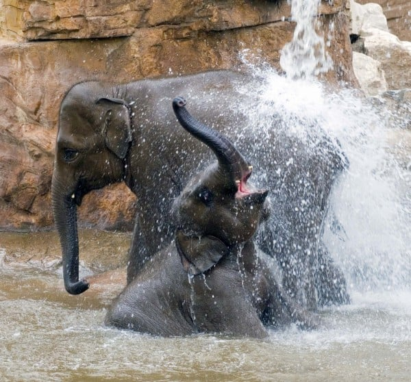 Two elephants splashing water at Chester Zoo