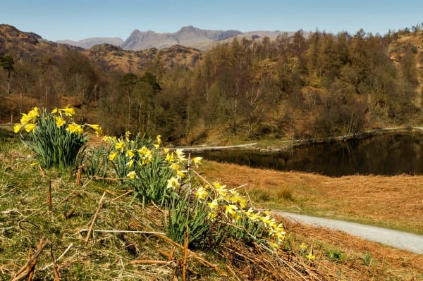 Daffodils, Lake District
