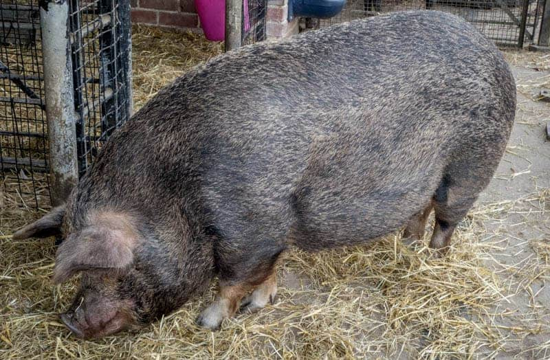 Pig in a sty at Heaton Park Animal Centre, Manchester