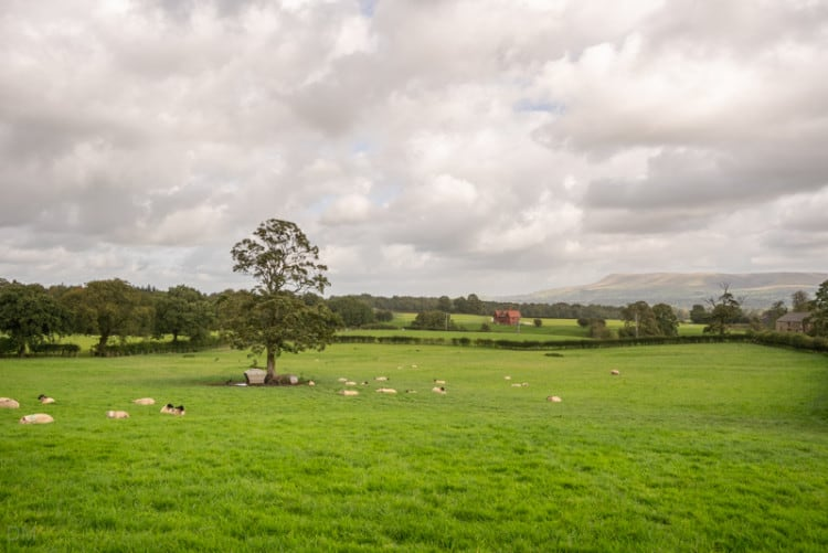 Sheep in a field at Hurst Green, Lancashire