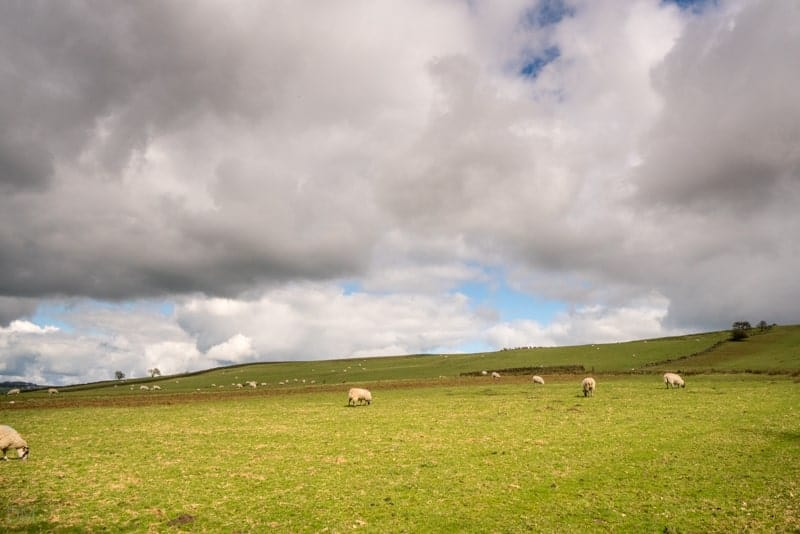 Sheep in field at Wycoller